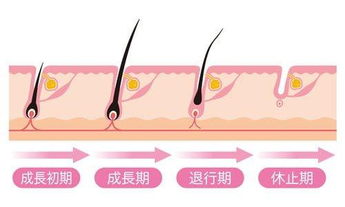 毛周期を理解